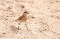 Isabelline Wheatear (Oenanthe isabellina, Traquet isabelle)