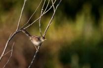 Graceful Prinia (Prinia gracilis, Prinia gracile)
