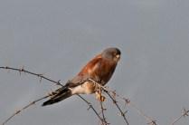 Lesser Kestrel (Falco naumanni, Faucon crécerellette)