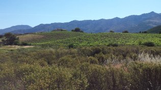 Magnificent landscape of the vineyard of Patrimonio in which we catch the flycatchers