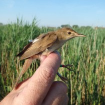 Eurasian Reed Warbler (Acrocephalus scirpaceus, Rousserolle effarvatte) and its geolocator