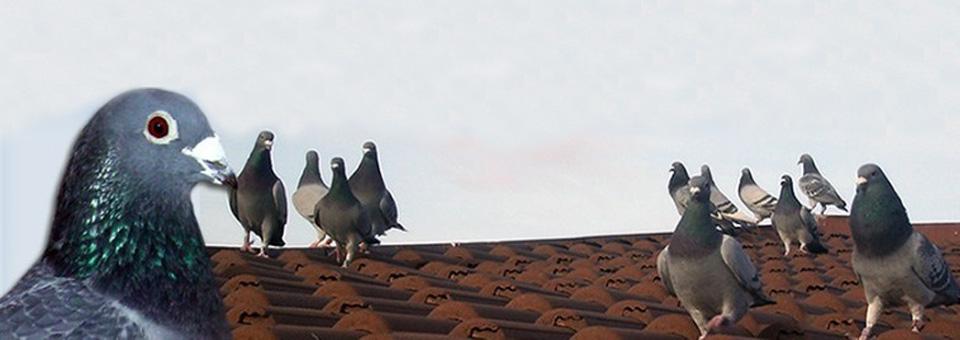Imagini pentru poze cu porumbei pe acoperiș