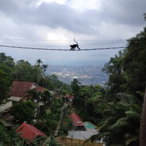 Les langurs de Penang Hill