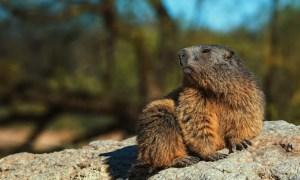 China interzice consumul de marmotă după ce a apărut un prim caz de ciumă bubonică 25