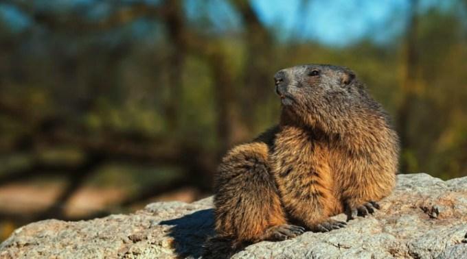 China interzice consumul de marmotă după ce a apărut un prim caz de ciumă bubonică 1