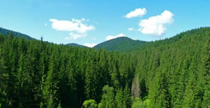 România, patria ultimelor păduri virgine ale Europei. Vezi unde crește cel mai înalt brad din țară 1