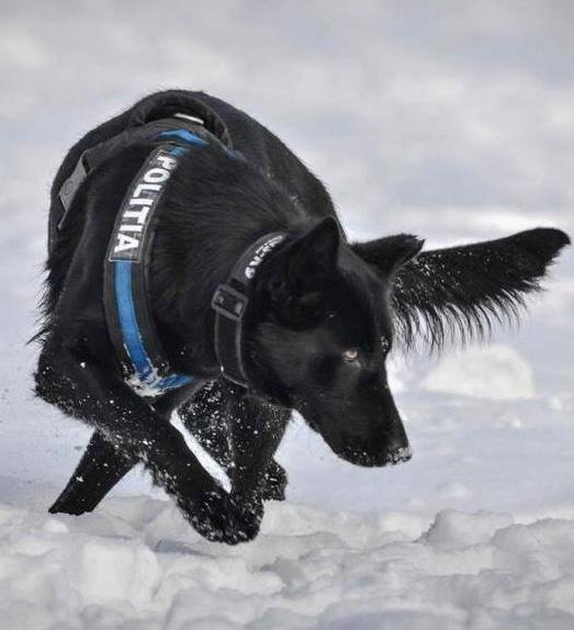 """El este câinele polițist care a prins autorul dublei crime din Satu Mare, în doar 4 ore. """"Mulțumim, TEBA! Doar 4 ore i-a luat acestui câine polițist să ajungă la criminal"""" 1"""
