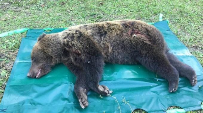 """(Foto) Caz grav de urs prins într-o capcană. Tiberius: """"O ursoaica bătrână a fost salvata de membrii organizației noastre, Dr. Szász István Endre si Berde Lajos, in cooperare cu Jandarmeria judeteana si Ocolul Silvic ! Le multumesc ..."""" 2"""