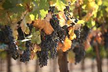 grapes-at-rocca-part-2