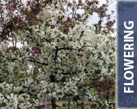 Flowering_200x160Button