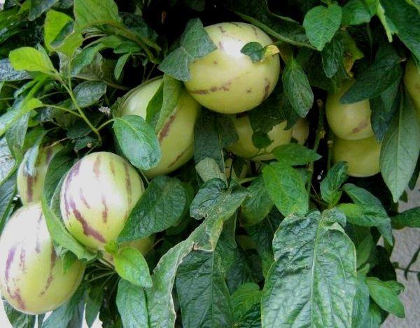 pepino-dulce-fruit