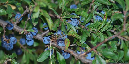 Prunus Spinosa Trigno: aggiornamenti sull'arbusto del Molise contro il cancro