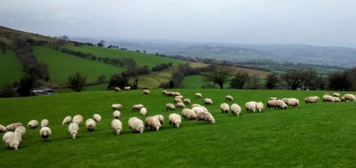 Ovejas pastando en una colina del Parque Nacional Brecon Beacons, Gales, Reino Unido, enero 2016
