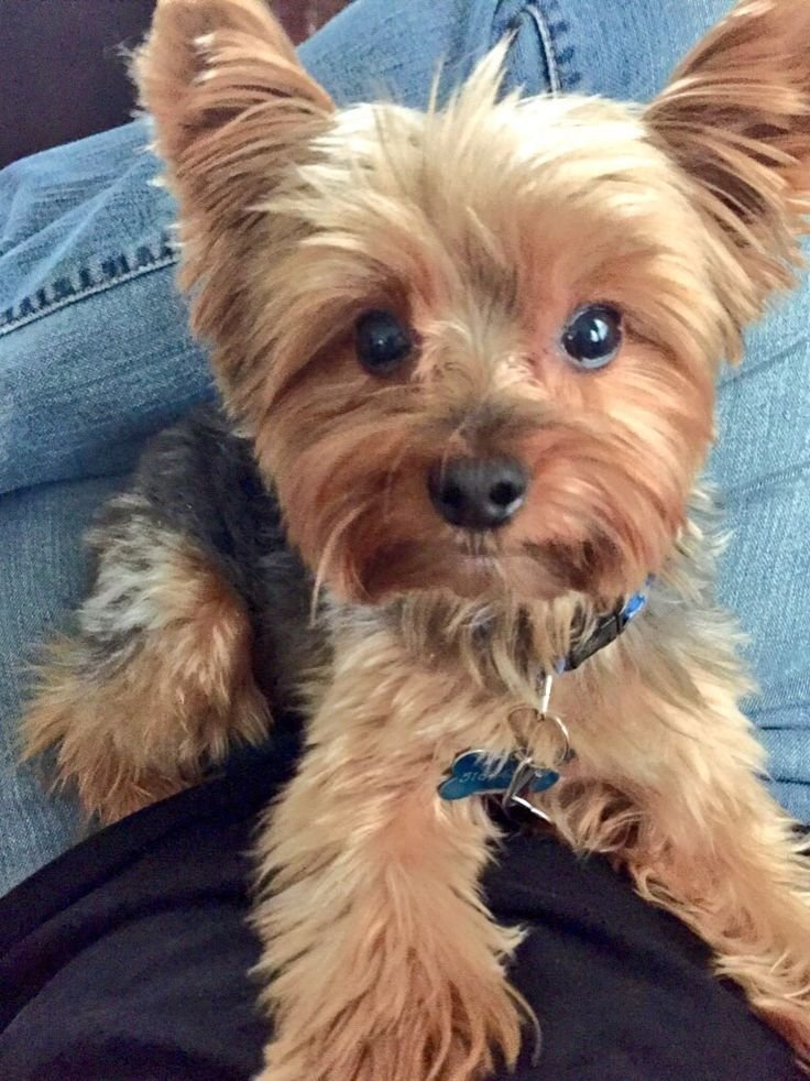 The Best Best 25 Yorkie Ideas On Pinterest Yorkie Puppies Pictures