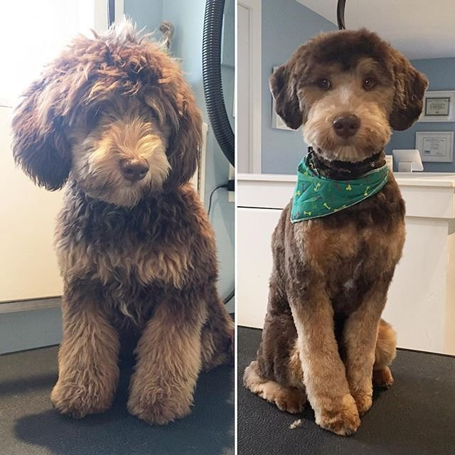 The Best Teddy The Minaturedoodle In For His Groom L O V E D O G S Hundar Pictures