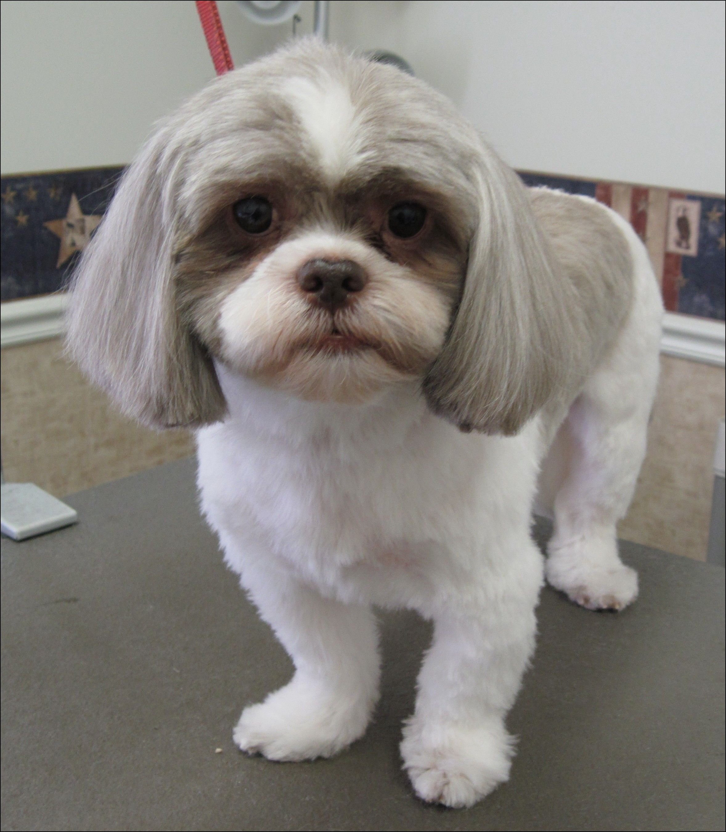 The Best Shih Tzu Short Haircut Animals Shih Tzu Dogs Shih Pictures