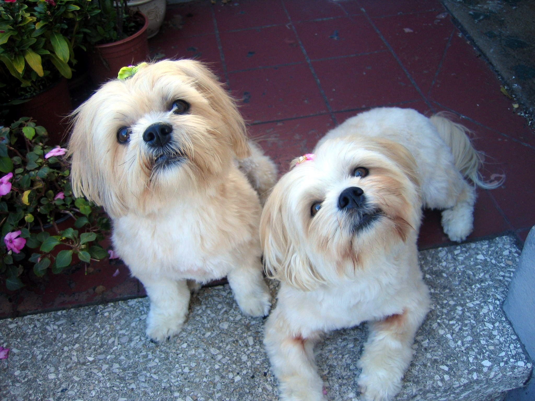 The Best Lhasa Apso Haircuts My Lhasa Apso Girls Lhasa Apso Pictures