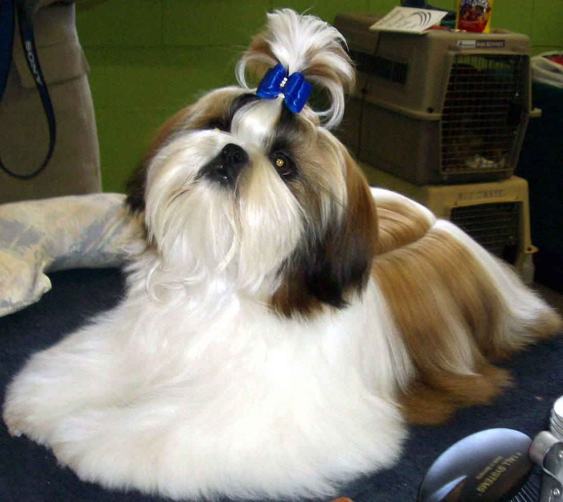 The Best Shih Tzu Haircut Hairstylo Pictures