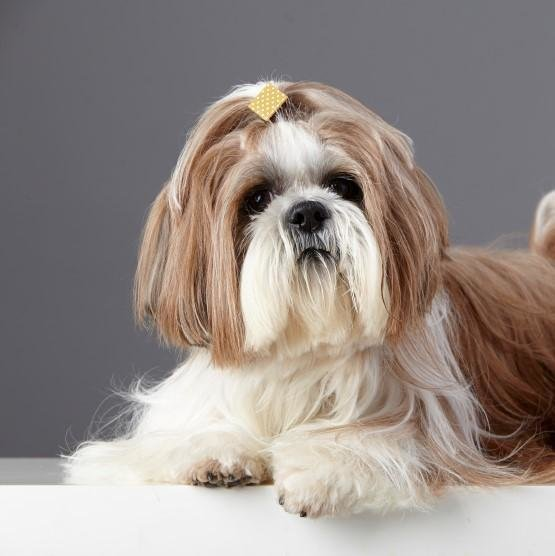 The Best 5 Types Of Haircuts For A Shih Tzu Pictures
