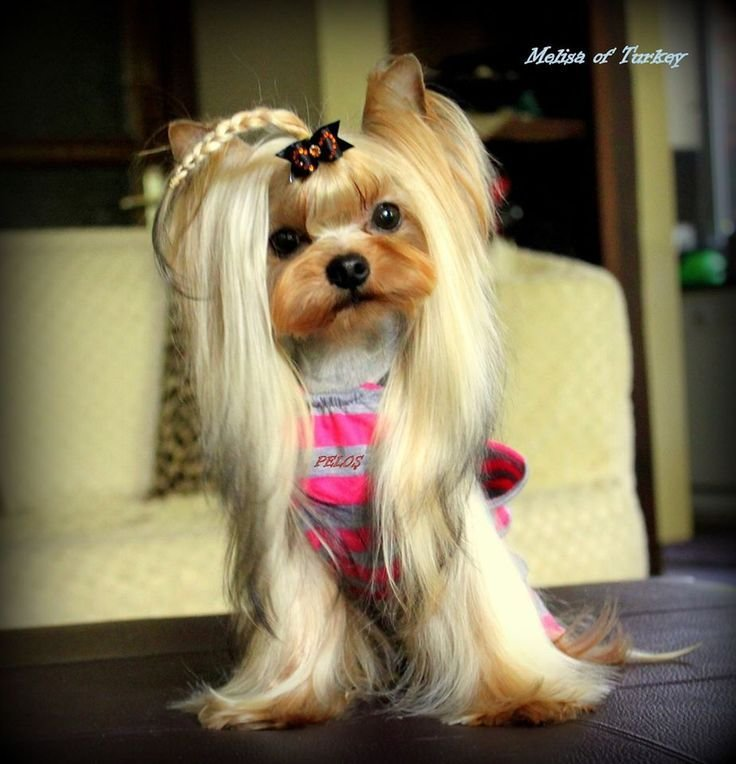 The Best Best 20 Yorkie Hairstyles Ideas On Pinterest Yorkie Pictures