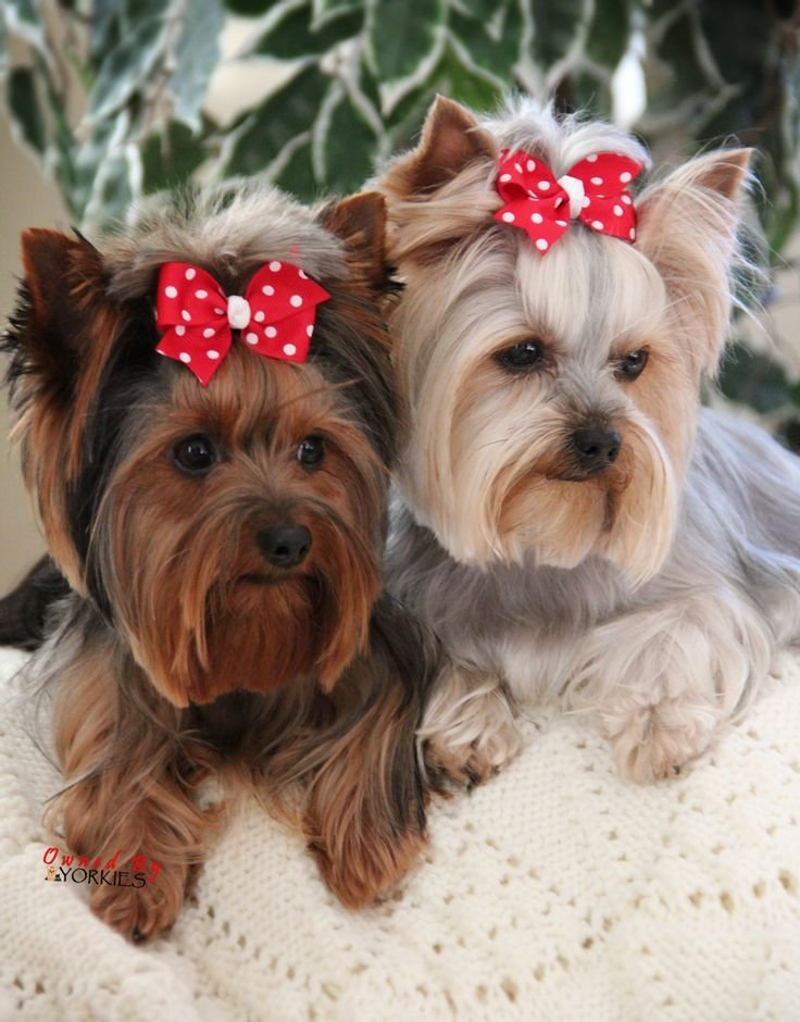 The Best 28 Best Silky Terrier Haircuts Images On Pinterest Pictures