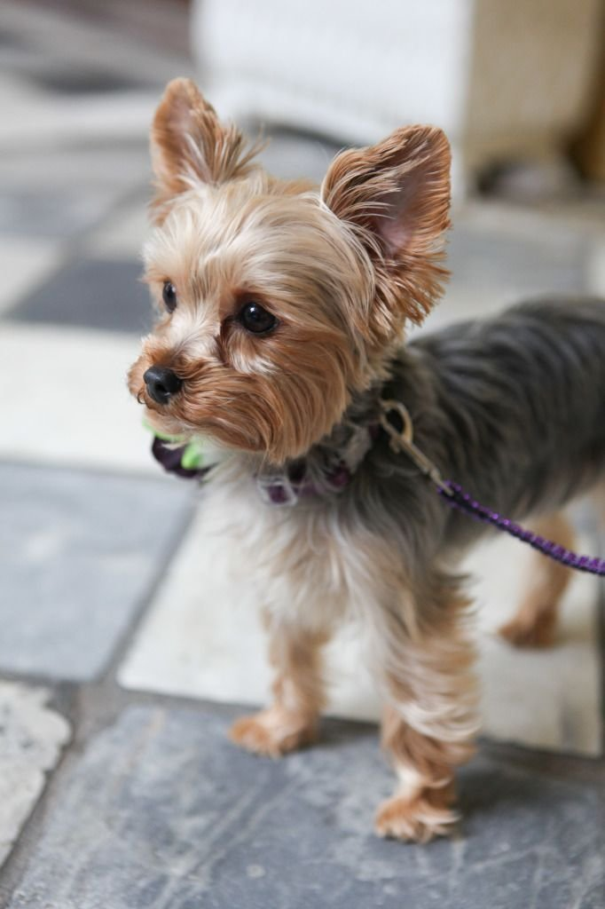The Best Yorkshire Terrier Petsync Pictures