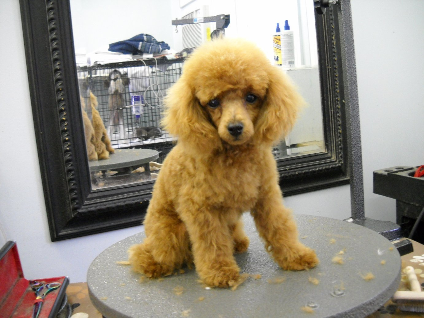 The Best Clips For Miniature Poodles Page 2 Poodle Forum Pictures