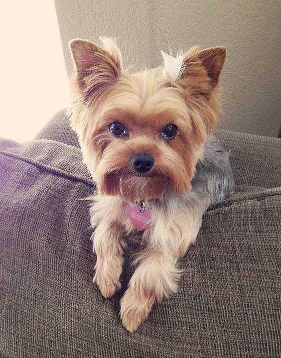 The Best Yorkie Haircuts Pictures Coolest Yorkshire Terrier Haircuts Pictures