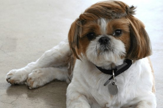 The Best 7 Unique Pictures Of Shih Tzu Hair Styles Pictures