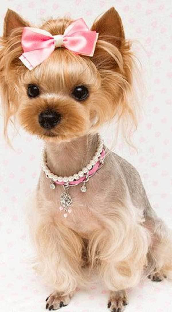 The Best Cute Yorkie Haircuts Pictures