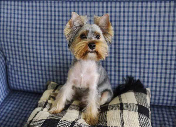 The Best Yorkie Haircuts 100 Yorkshire Terrier Hairstyles Pictures