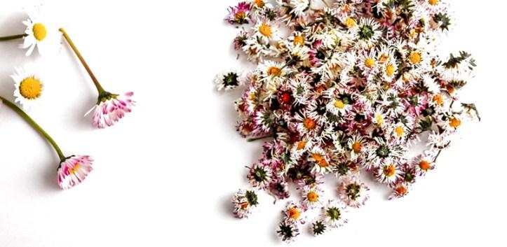 Gänseblümchen getrocknet auf weißem Hintergrund