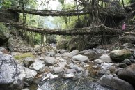 Living Bridges of Cherrapunji, India V