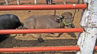 bufalo 3