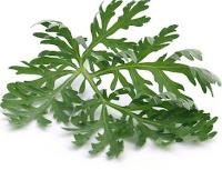 Artemisia annua/édesüröm/, a rákos sejtek ellen