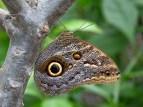 Oog van een Uilvlinder