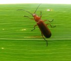 Red Soldier Beetle on a leaf