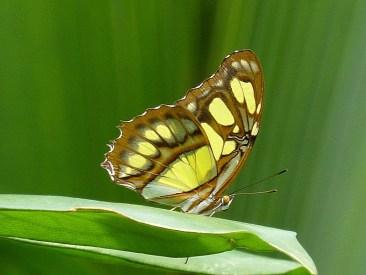 Malachiet vlinder