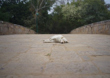 Street dog rests in Lodi Gardens