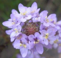 Pseudoselago verbenaceae