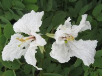 Wild Bauhinia