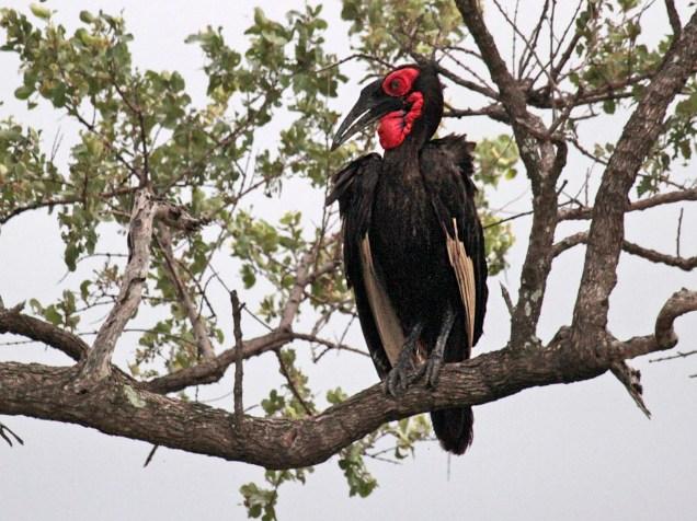 African Ground Hornbill