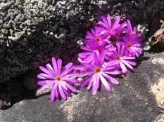 Conophytum minisculum