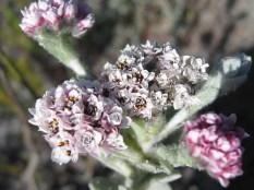 Helichrysum sp.