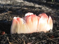 Haemanthus emerging from the ash