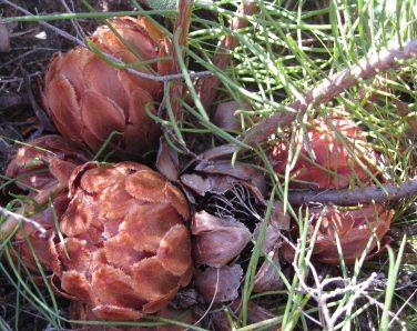 Protea decurrens