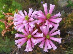 Erica longifolia