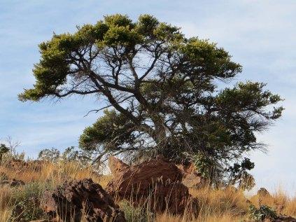 Yellowwood tree on the summit