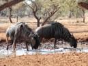 Blue Wildebeest in the mud