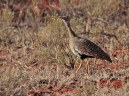Red-Crested Korhaan